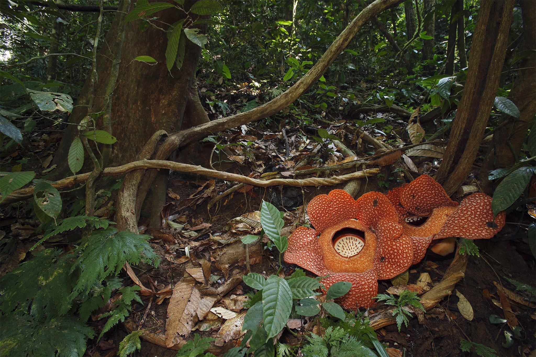 Rafflesia Corpse Flower Http Voices Nationalgeographic Com Files 2014 06 Ww Weird Pollinator 03 Jpg Pollination Big Flowers Corpse Flower