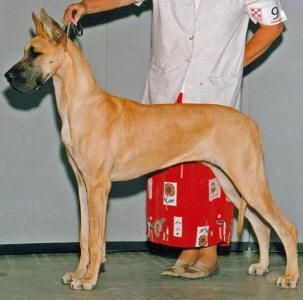 Lobato Great Danes Most Notables Great Dane Dogs Dog Life