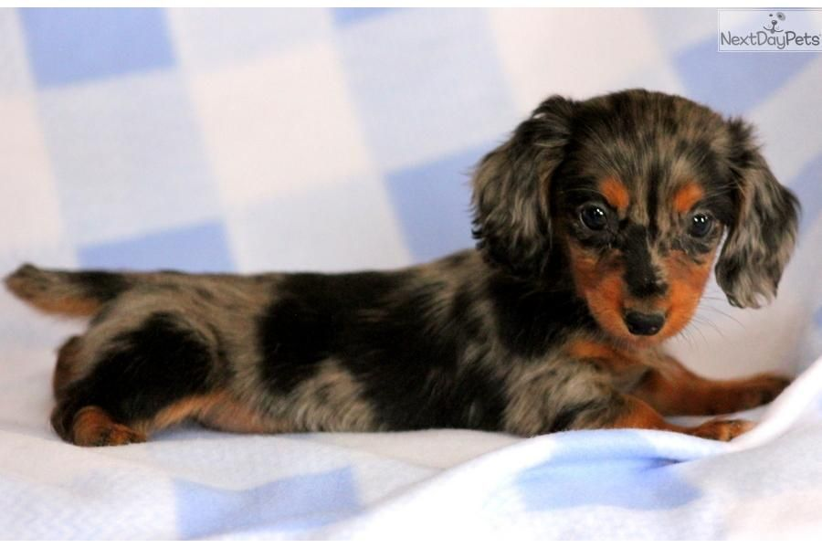 Dachshund Mini Puppy For Sale Near Lancaster Pennsylvania