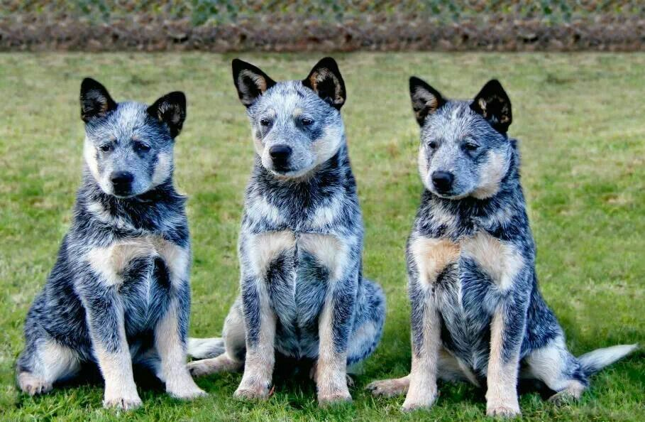 Blue triplets. What woul be more gorgeous. From Australian working dog rescue.