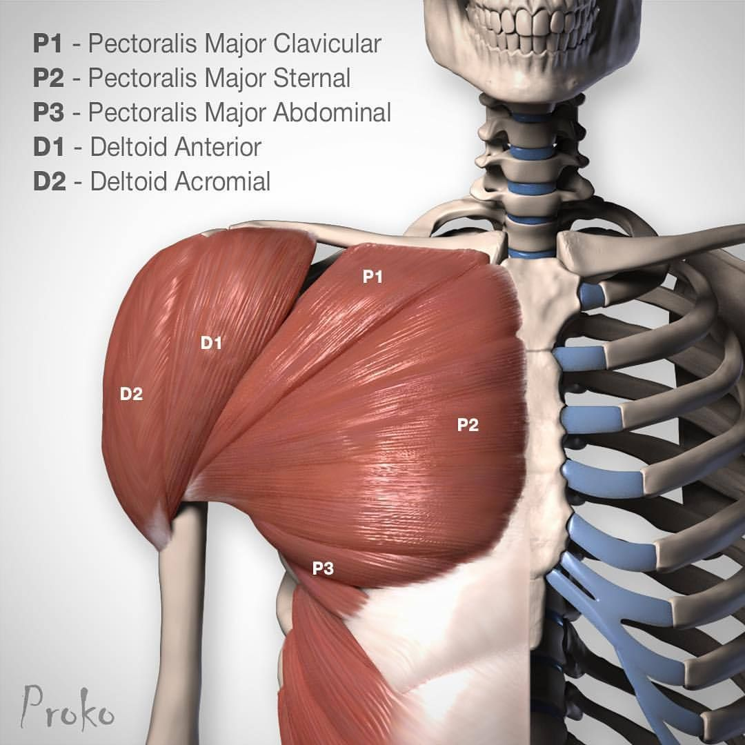 Portions of the Pectoralis Major and Deltoid. Watch the drawing pecs ...