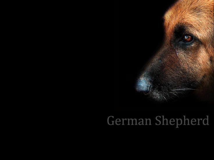 The German Shepherd (, ) (formerly known as Alsatian and Alsatian Wolf Dog in Britain) is a breed of large-sized dog that originated in Germany. Description from pixgood.com. I searched for this on bing.com/images