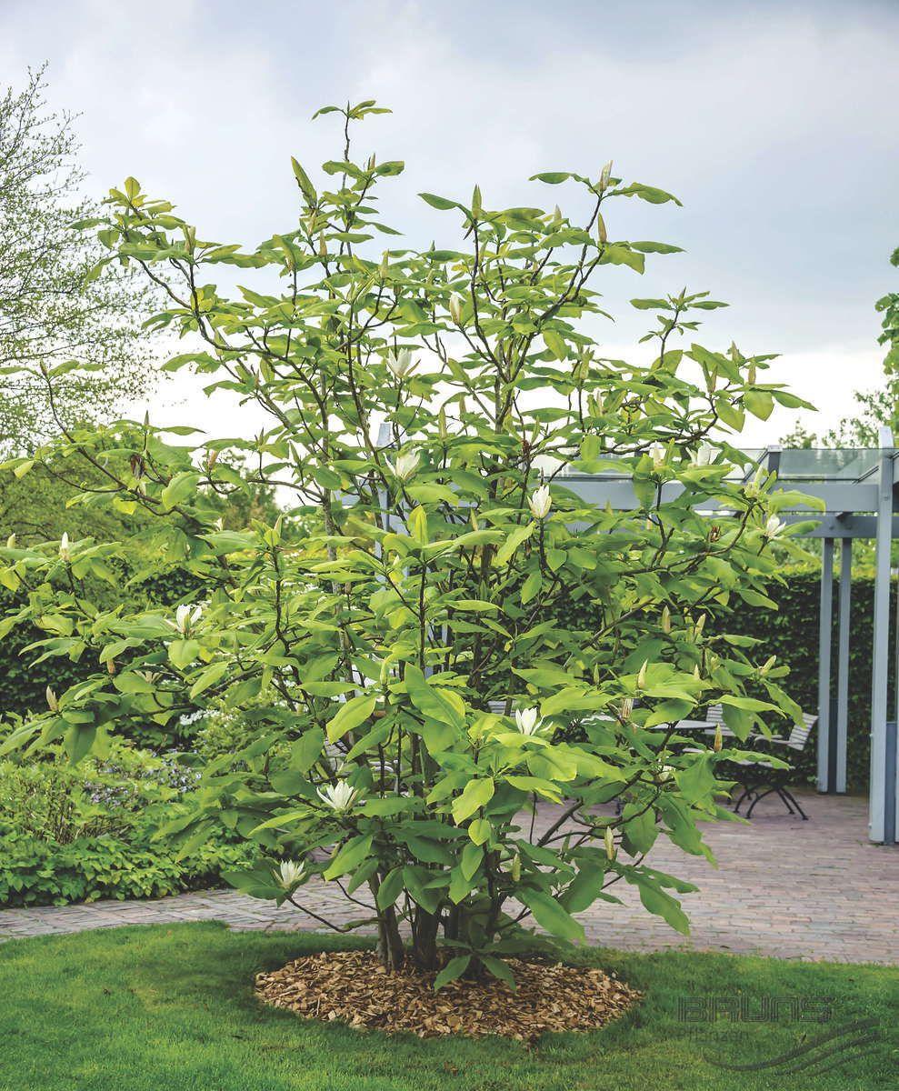 Gemeinsame MAGNOLIA tripetala L., Schirm-Magnolie | Pflanzen | null | Bruns @KK_37