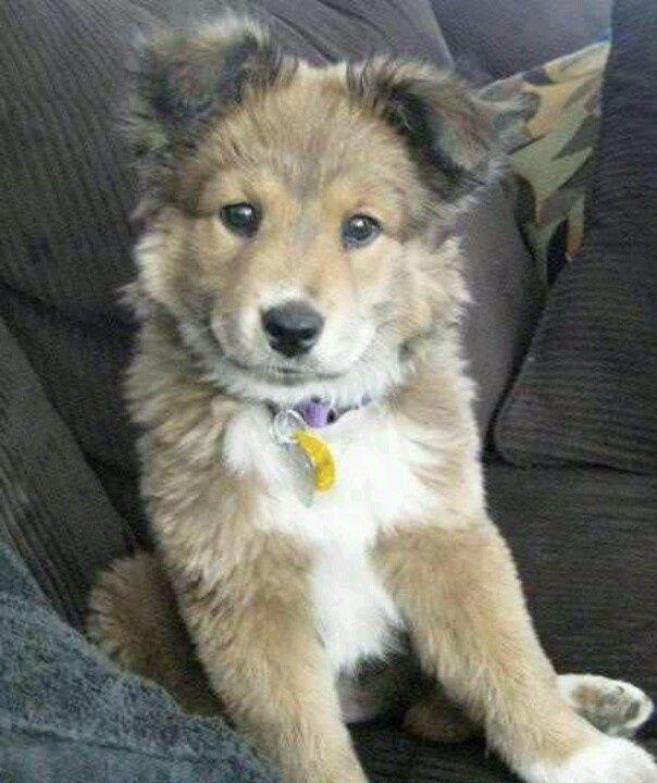 German Shepherd Collie Mix Mixed Breed Puppies Dog Breeds
