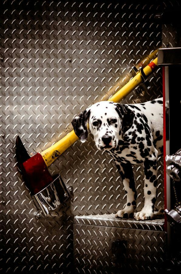 A Dalmation with his fire truck...
