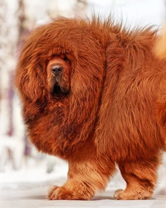 Tibetan Mastiff Tibetan Mastiff Dog Tibetan Mastiff Dogs