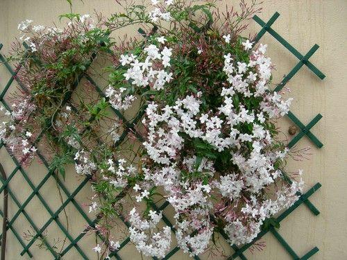jazmín chino. produce flores muy fragantes, blancas por dentro y