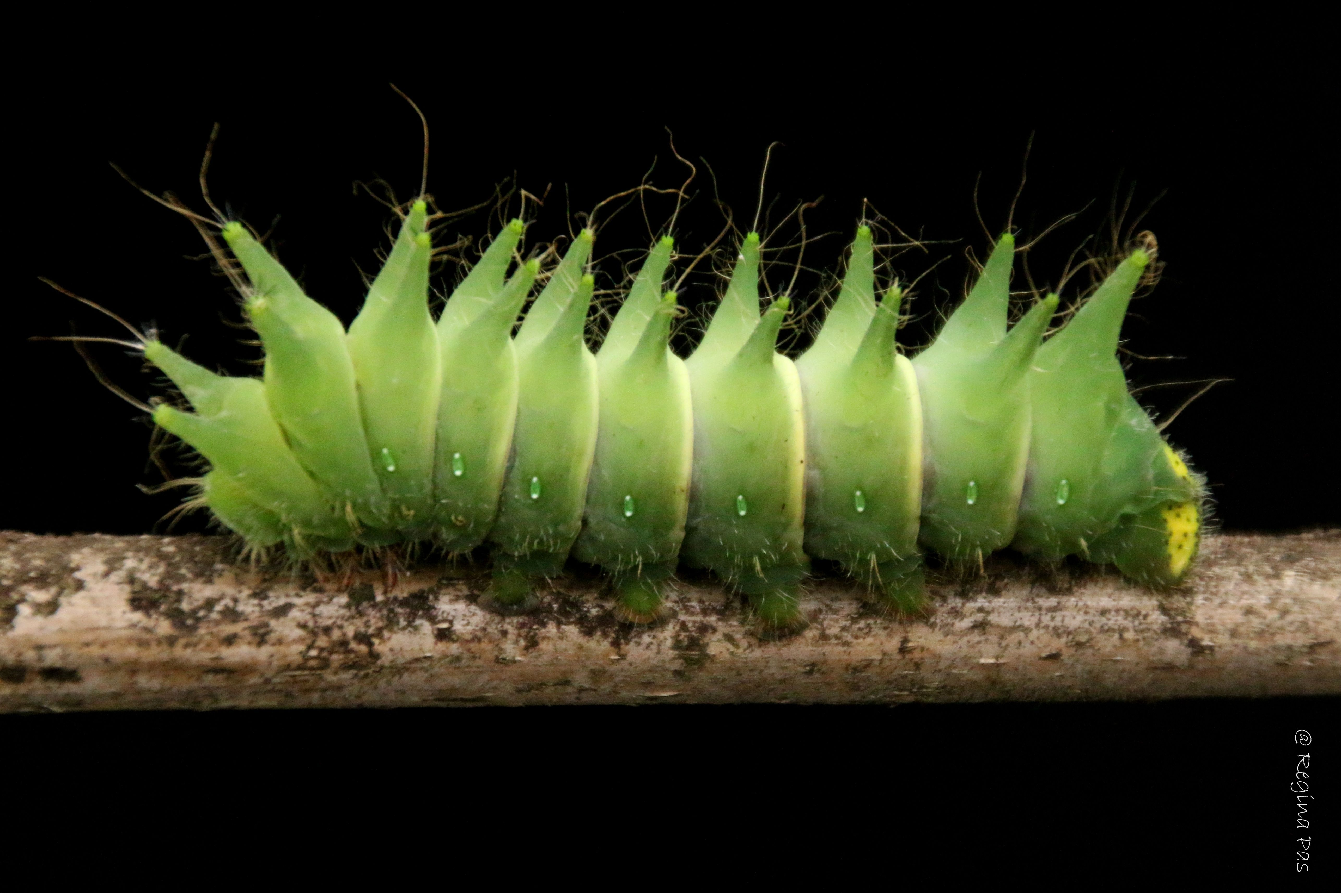 Pin by Eric on Гусеницы Moth caterpillar, Colorful
