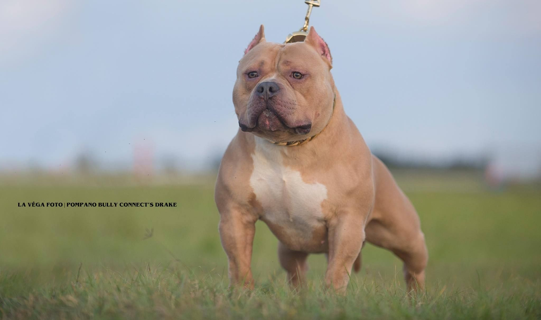Produced Venomline Productions Studs Pocket Bully Puppies
