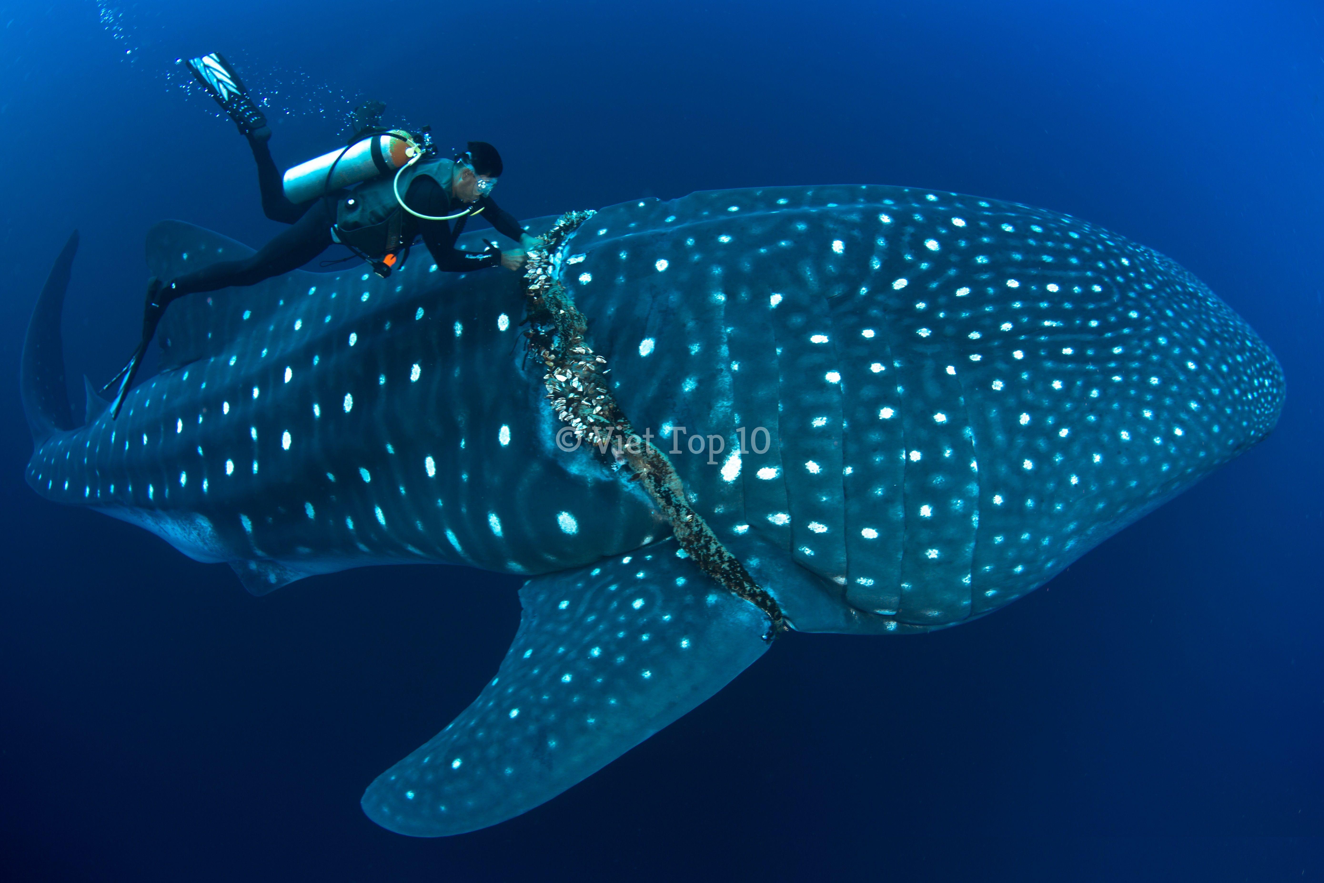 top 10 loài cá mập quái dị nhất dưới đáy đại dương - việt top 10 - việt top 10 net - viettop10