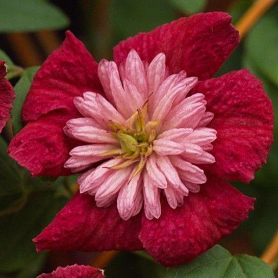 Avantgarde; ca. 200-300cm; winterhart   Gardening: plants (clematis ...