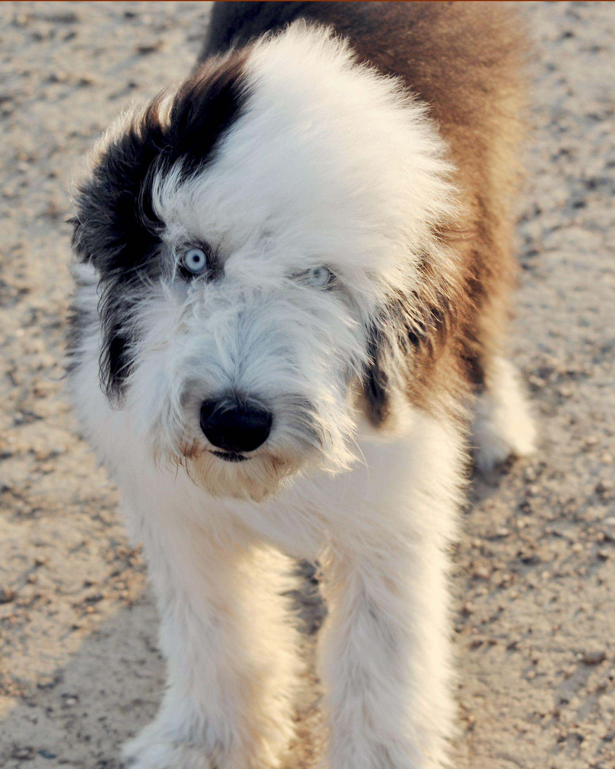 Crazy Eyed Chai Old English Sheepdog Old English Sheepdog Puppy English Sheepdog Old English Sheepdog
