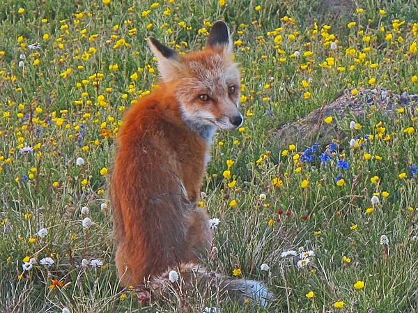 now even this fox loves the spring time, he was just sitting here watching the beautiful sunset ontop of the world...makes a great gift idea