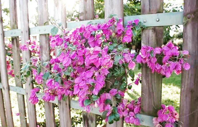 """"""" Uma vez eu tive uma ilusão e não soube o que fazer não soube o que fazer com ela... E ela se foi... Porque eu a deixei ? """" - Ilusion - Marisa Monte  #flores #flowerstagram #flowers #pink #naturelove #natureporn #naturephotography #naturelover #nature #photooftheday #canonphotography #landscape #outdoors #catalao #natureza #floweroftheday #flowermagic #flowerlife #bougainvillea #tropicalflowers"""
