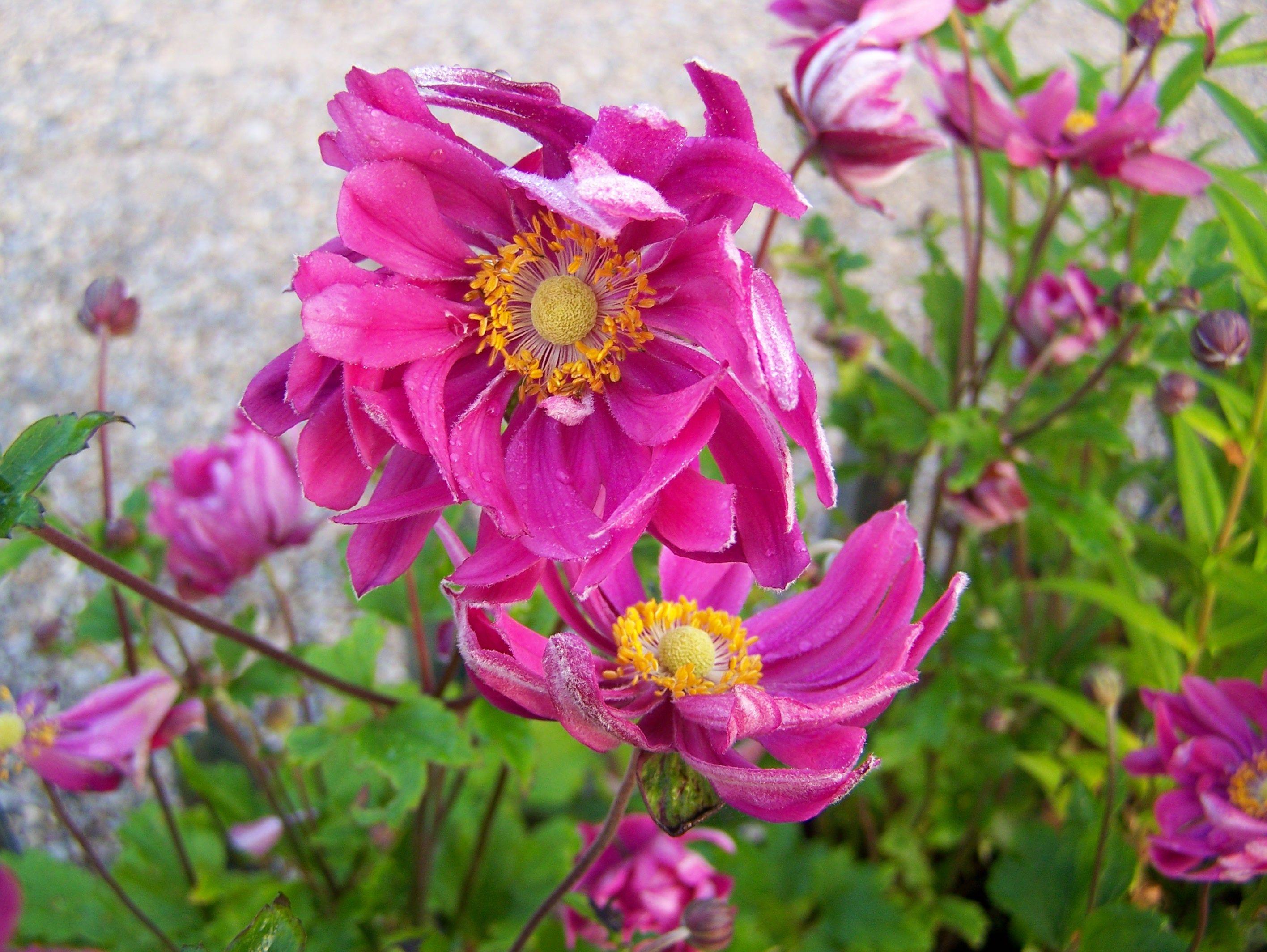 Anemone hupehensis var. japonica\'Bressingham Glow\' | Anemone, Fall ...