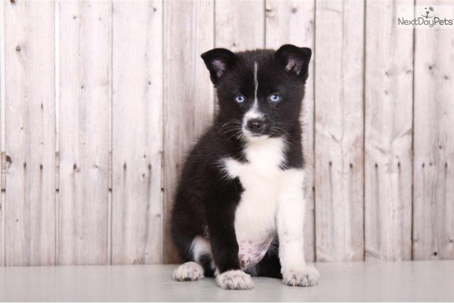Comet pomsky puppy for sale near columbus ohio
