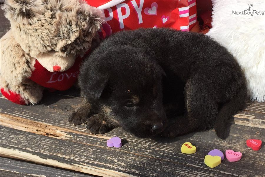 German Shepherd Puppy For Sale Near Oklahoma City Oklahoma