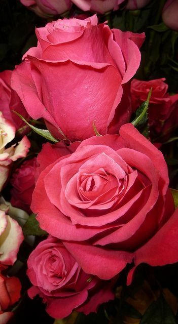 Deep Pink Roses Flores Bonitas Melhores Flores Rosas
