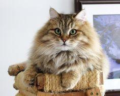 Siberian Cat Siberian Cats Siberian Kitten Siberian Kittens Siberian Kittens For Sale Hypoallergenic Kittens Hy Gatos Bonitos Gatitos Adorables Gato Siberiano