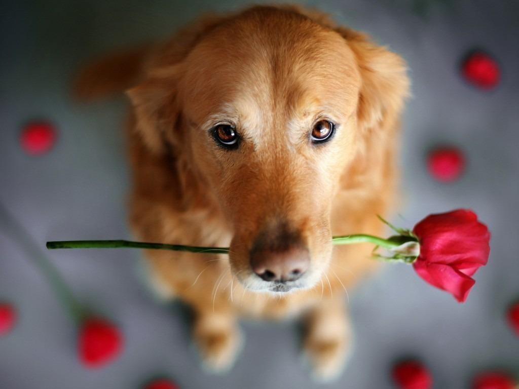 Dog With Rose Beautiful Dogs Golden Retriever Dog Photos