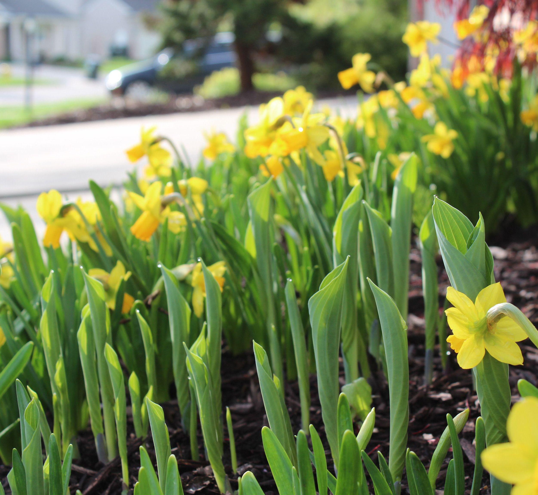 Garden Tip Plant Daffodils In Between Hostas So That The Hostas