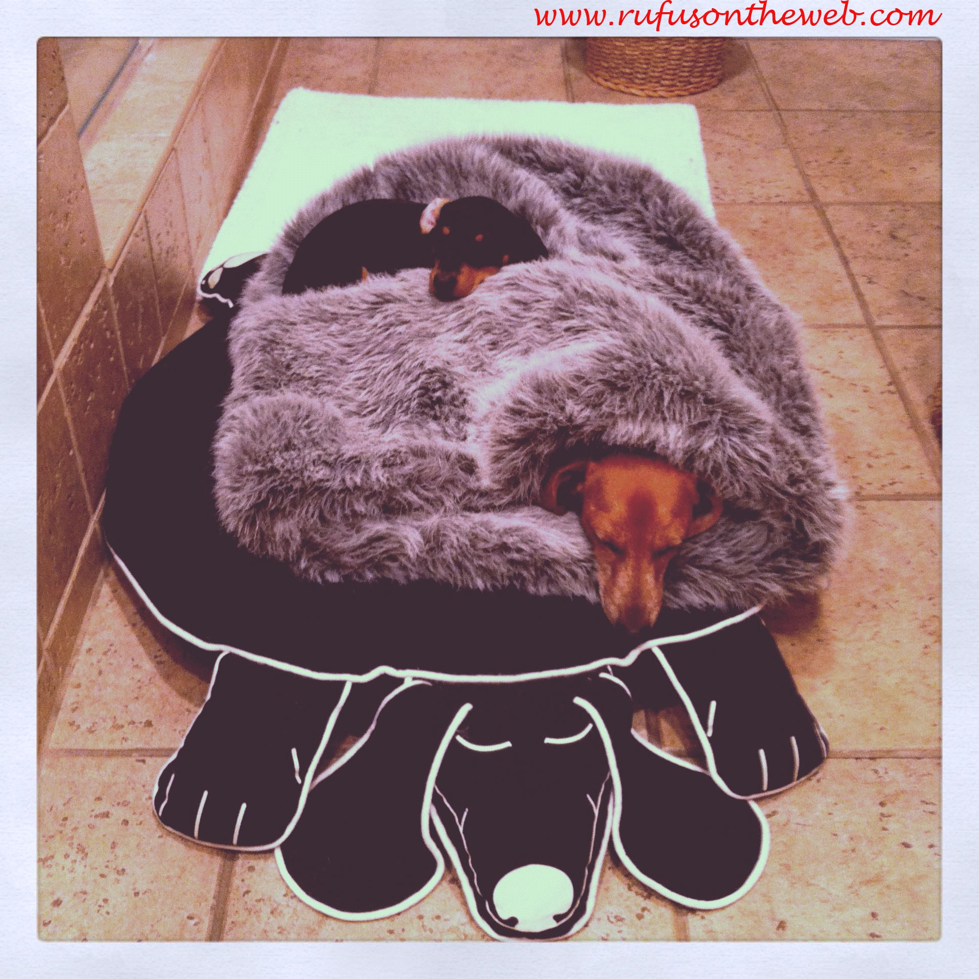 Emily & Rufus sleep. Cute. To see more visit http://wp.me/27Fw1 #dachshund #Rufus #doxies
