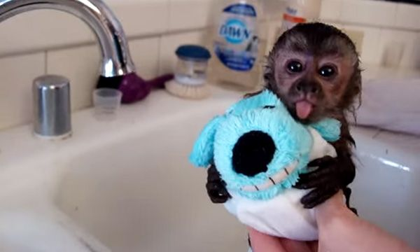 This Baby Monkey Gets A Bath In The Sink And It Is So Cute Cute Baby Monkey Baby Monkey Baby Animals