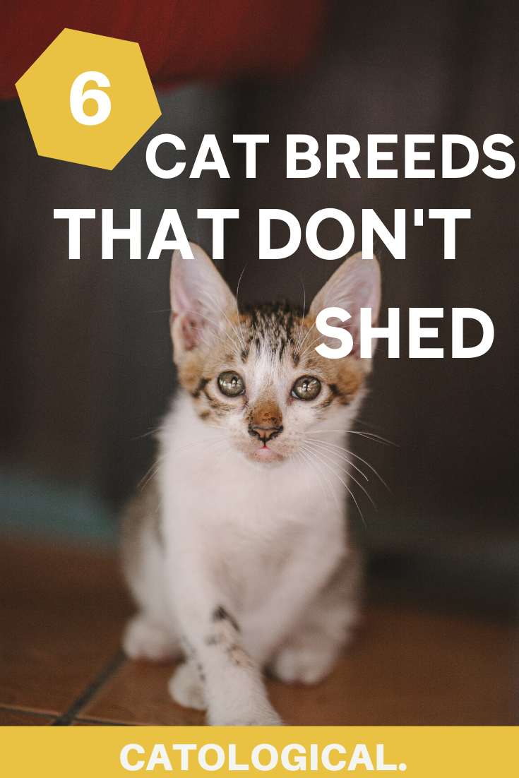 Top 6 Cat Breeds That Don't Shed (That Much) Is There