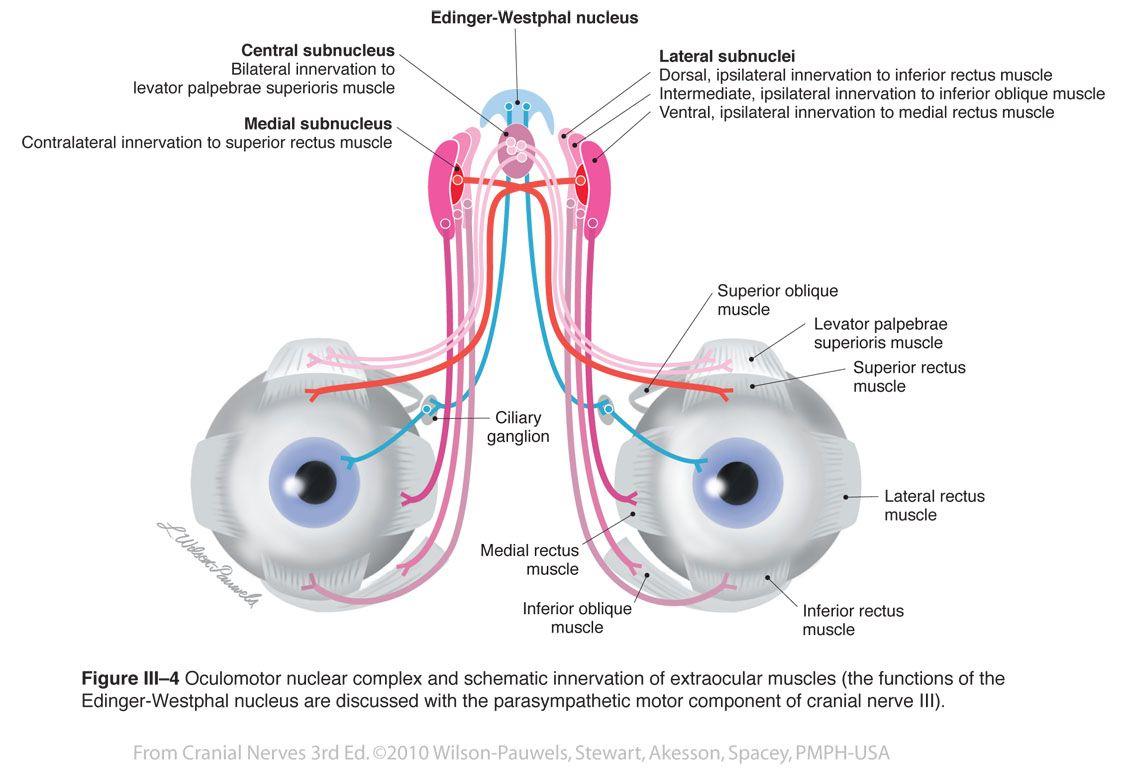 Oculomotor Iii