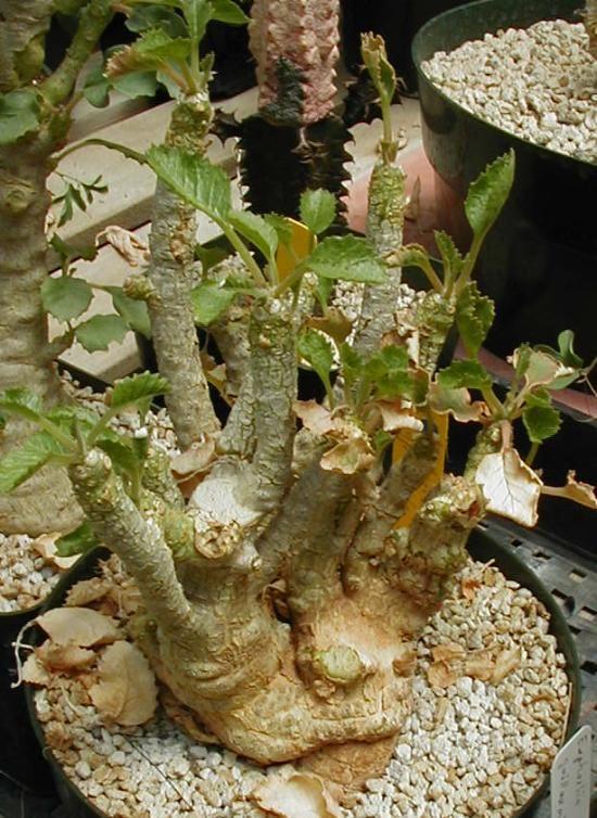 Dorstenia gypsophyla on Stage. 2