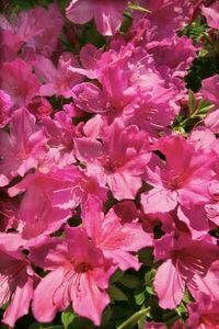 Are Coffee Grounds Good For Grapevines Plants Azaleas Flowers