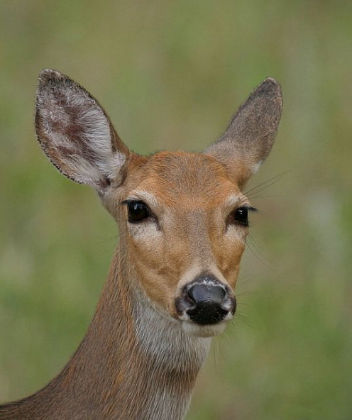 Golden Turkey Top Five Silliest Things About Twilight Animal Projects Fawns Deer Animals