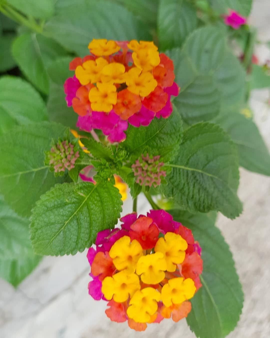I Captured This Colorful Lantana Flower On The Side Road Garden Floweringplant Flowergarden Flowers Lantana Lantana Flower Flowers Name List Flower Names