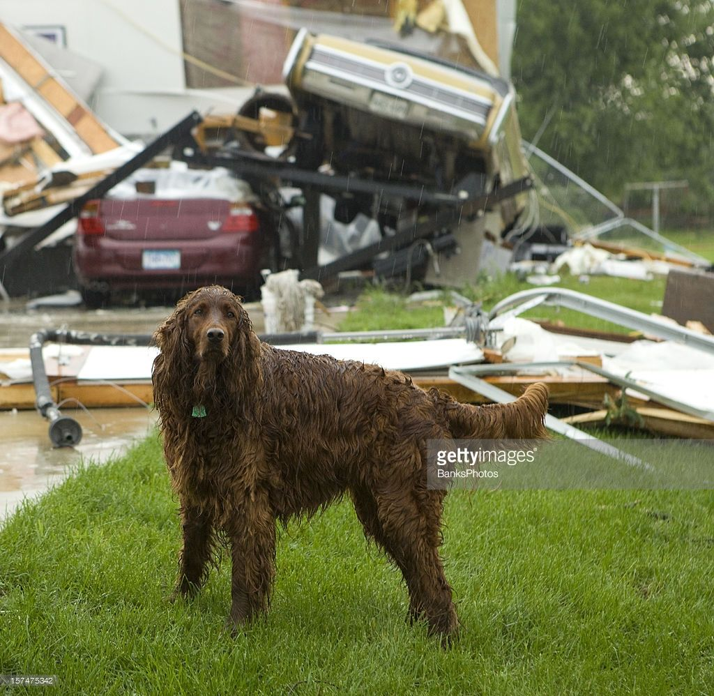 Irish Setter dog in the rain shortly after a tornado