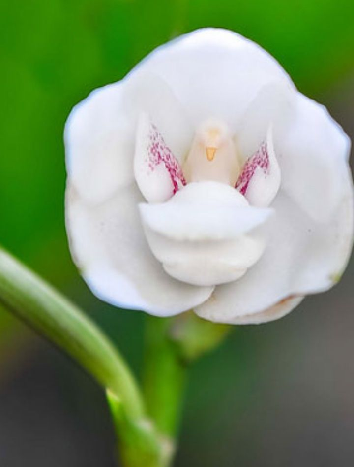 Dove Orchid Beautiful Orchids Growing Orchids Orchid Flower