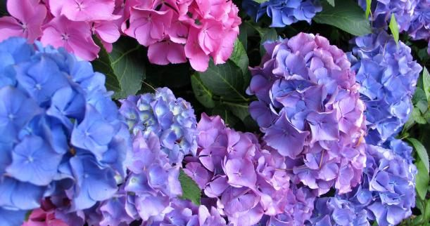 When is the Best Time to Plant Hydrangeas | Home & Garden Ideas