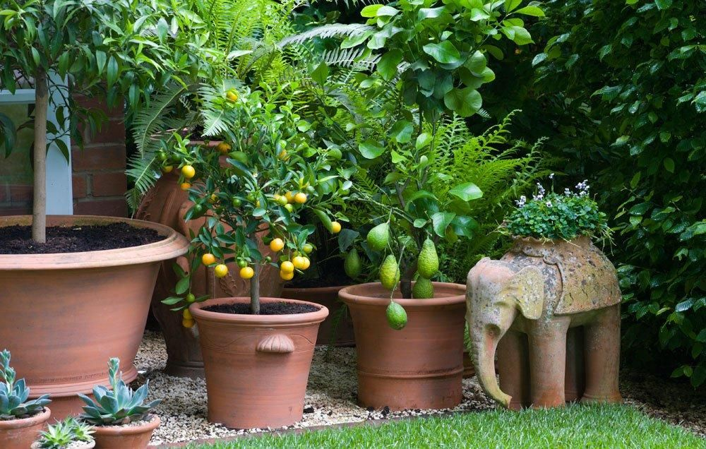 8 Fruit Trees You Can Grow Right On Your Balcony Fruit Trees In Containers Dwarf Fruit Trees Potted Fruit Trees