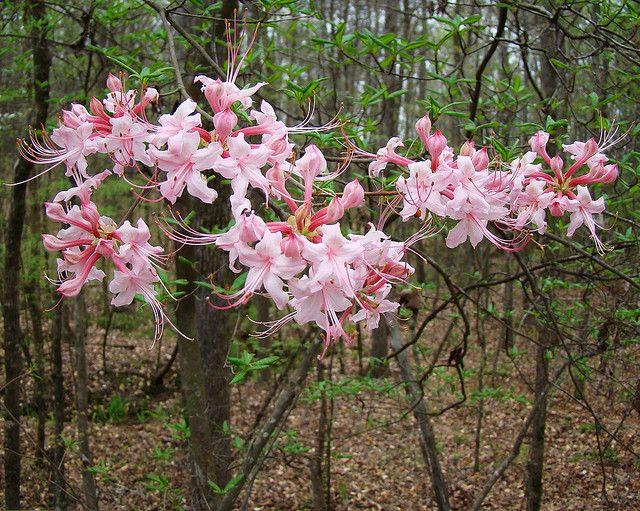 Pink Wild Azalea Honeysuckle Tree Scientific Name Rhododendron Periclymenoides 4 03 08 Honeysuckle Flower Evergreen Vines Wild Honeysuckle