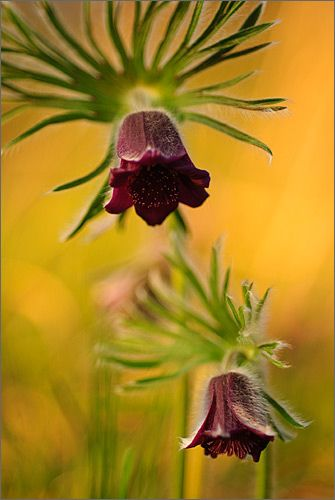 *PURSATILLA ...The genus Pulsatilla contains about 33 species of herbaceous perennials native to meadows and prairies of North America, Europe, and Asia. Common names include pasque flower (or pasqueflower), wind flower, prairie crocus, Easter Flower, and meadow anemone.