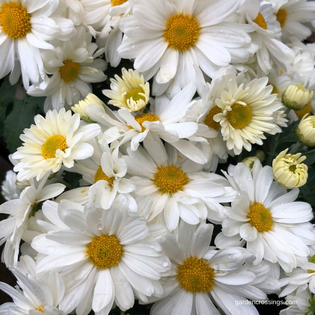 I Think This Is One Of The Coolest Looking Mums Sparkle White Has A Daisy Like Flower That Has A Fresh Clean Look Daisy Flowers Plants