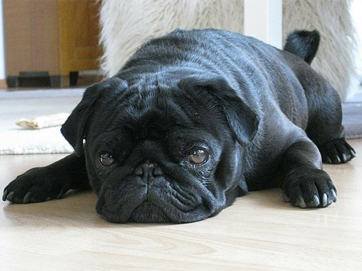 Pin By Meghan On Pugs Black Pug Puppies Pug Puppies For Sale Pugs
