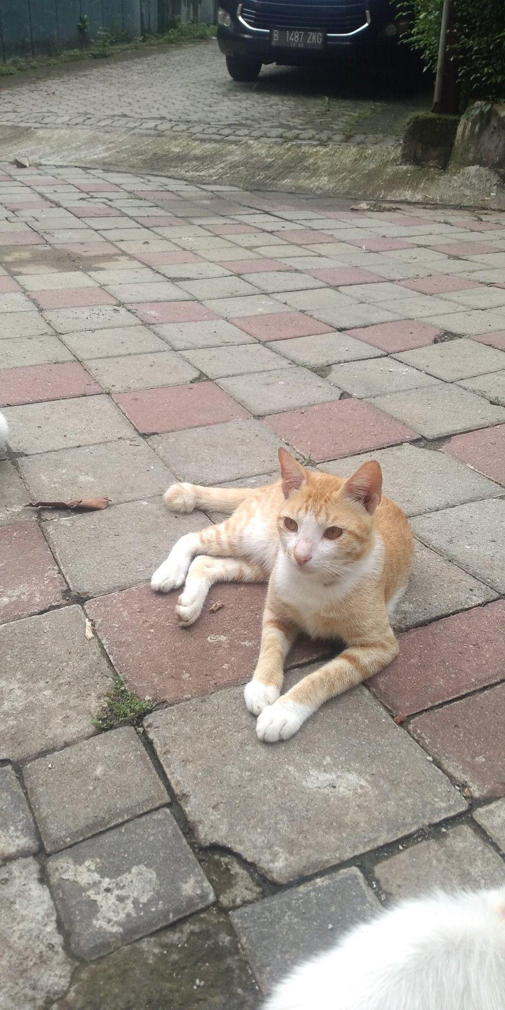 Kucing Oren Anabul Cat Kucing Anak Kucing Gemas Anak Kucing Kucing