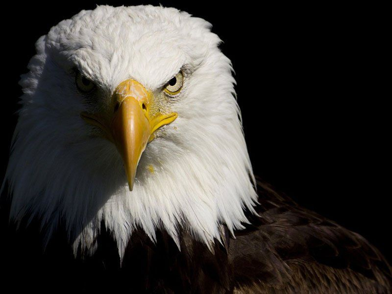 Pin On Eagle Carving Eagle bird full hd wallpapers