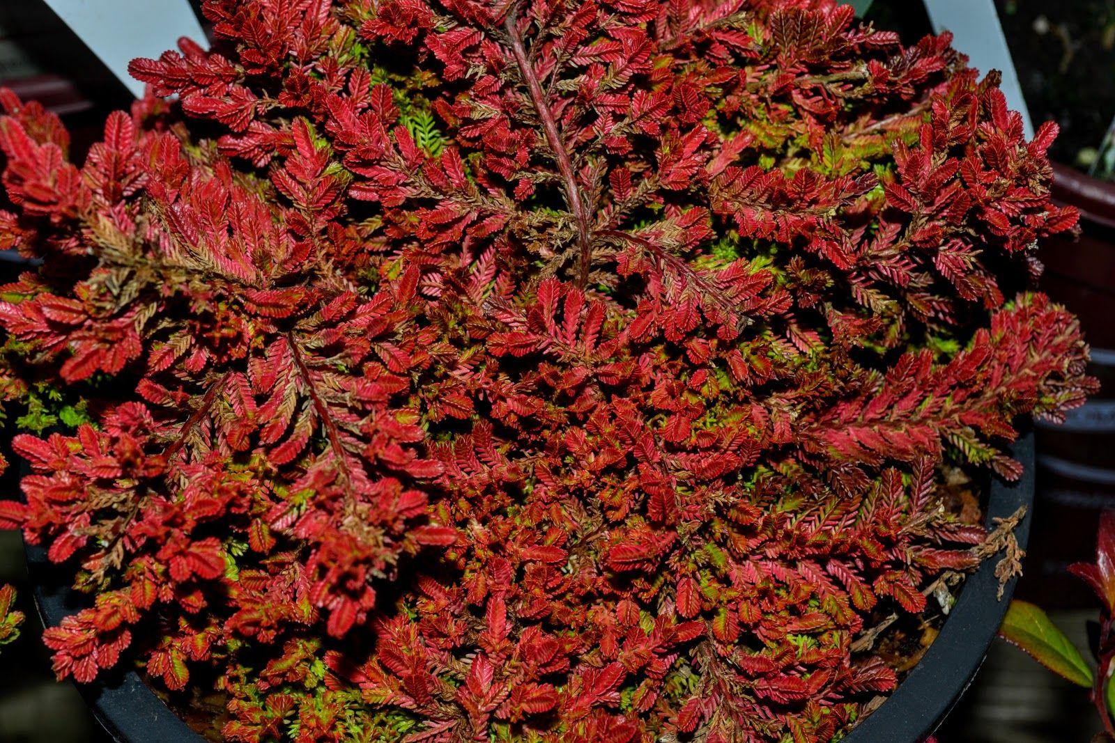 Image result for calluna vulgaris blazeaway heather and for Calluna vulgaris
