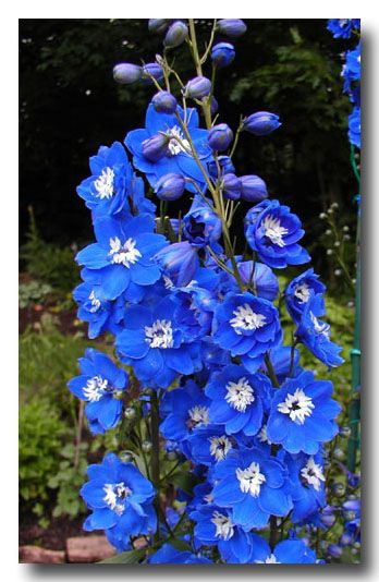 My July And August Flowering Blue Perennials Are Gentian Stokes Aster Which