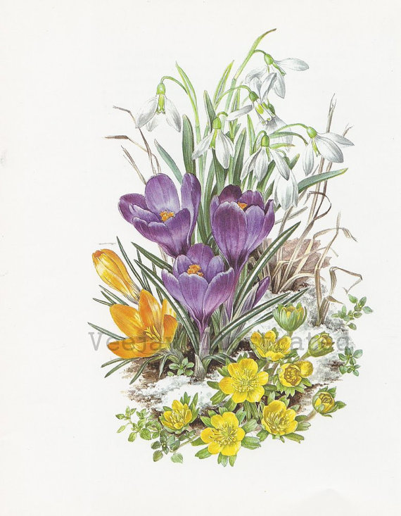 Gallery 1970s Anne Dowden February Crocus and Snowdrop Botanical   Etsy is free HD wallpaper.