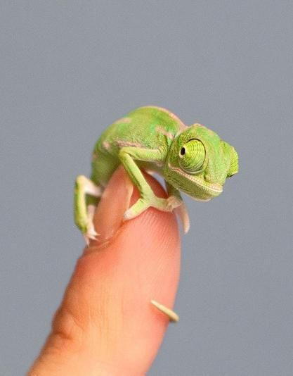 Photo of These itty-bitty baby chameleons will give you strong feelings about reptiles