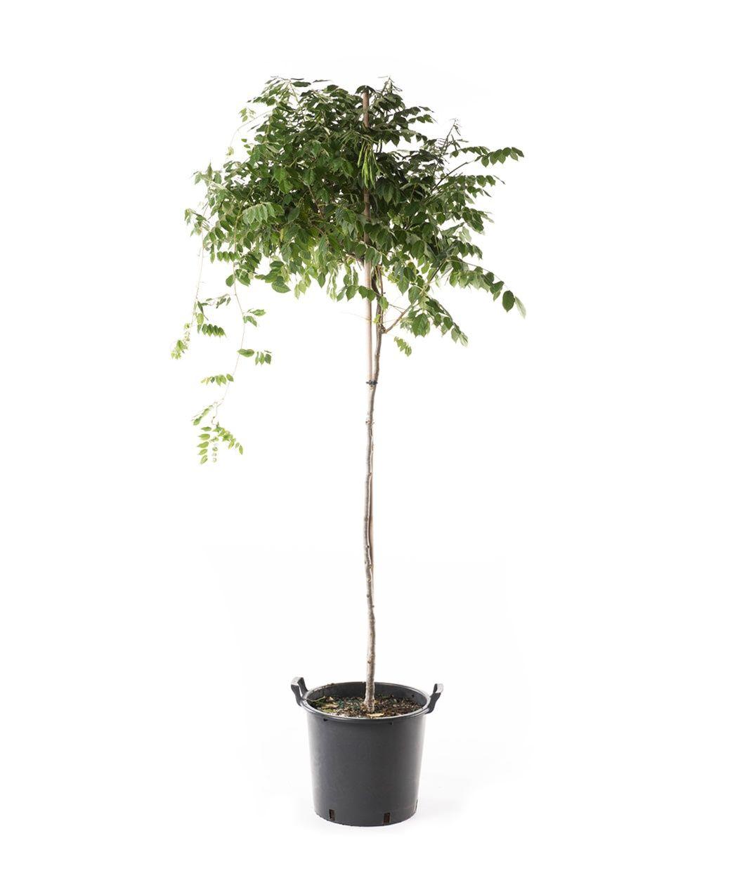 Tree Form Aunt Dee Wisteria