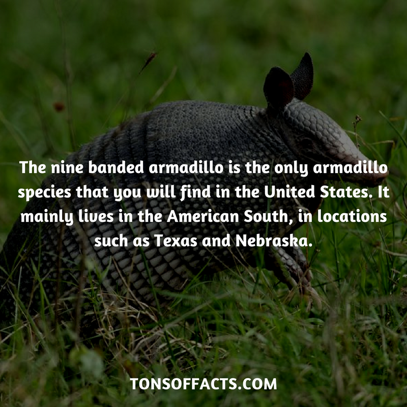 The nine banded armadillo is the only armadillo species