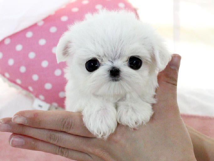 Teacup Puppies Pomeranian Yorkie Maltese Chihuahuas Designer Teacup Puppies Puppies Cute Teacup Puppies